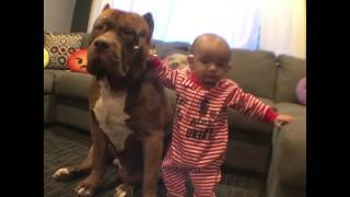 "Giant pit bull ""The HULK"" helping baby stand up"