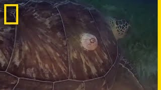 Parasites Hitch a Ride on Turtle's Shell | National Geographic