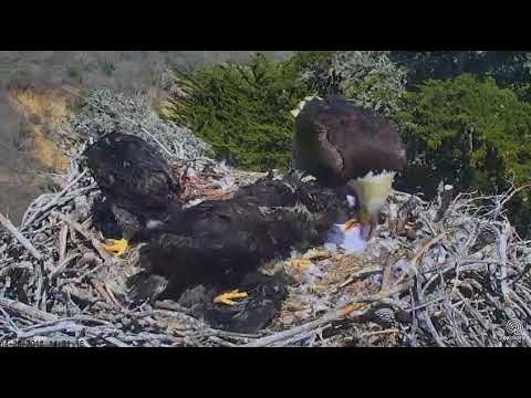 Sauces Eagle Cam - Eat Defeather Gull...