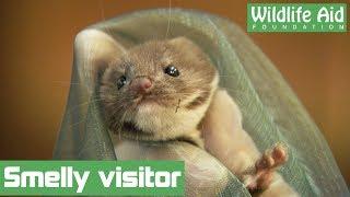 Cute weasel nursed back to health