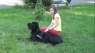 Cane Corso Puppy Sitting On The Green Grass With A Beautiful Girl