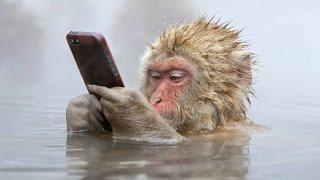 Джигокудани - парк снежных обезьян, Япония. Купание обезьян в термальном источнике.(Джигокудани - парк снежных обезьян, Япония. Купание обезьян в термальном источнике. Из-за крутых скал,..., 2016-03-18T04:36:02.000Z)