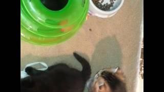 Шотландские котята. Купить в Казани. Питомник