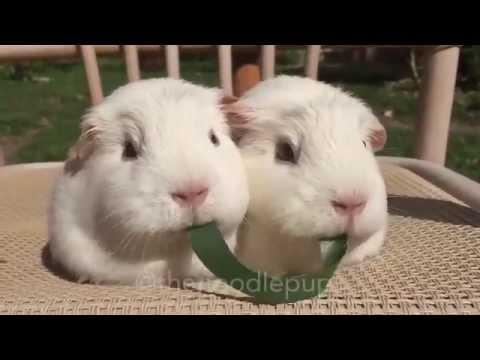Entertainment#1 - Guinea pigs eat grass - FBEC