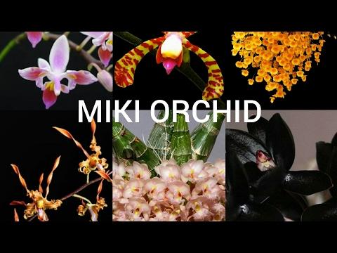 Новые Орхидеи от MIKI ORCHID