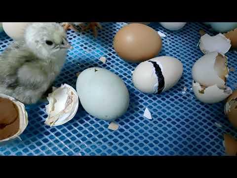 第一次孵小雞就上手-第一集 小雞破殼而出