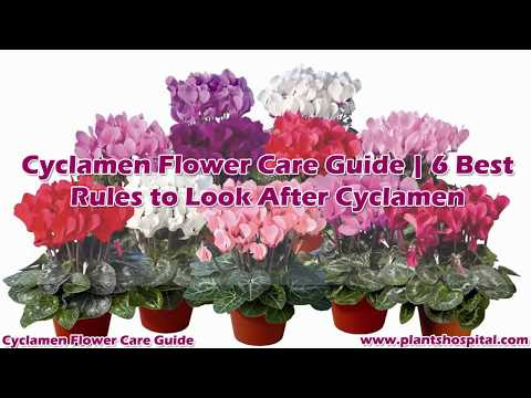 Cyclamen Flower Care Guide   6 Best Rules to Look After Cyclamen