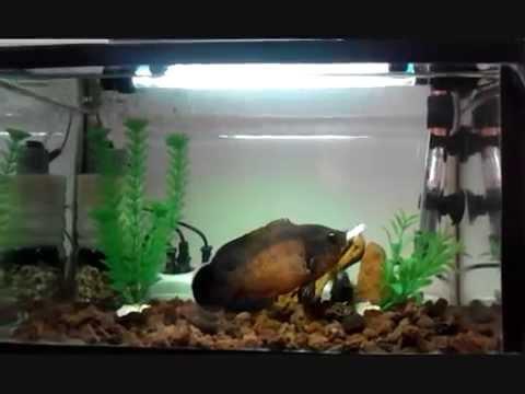 Oscar fish eating Gold Algae Eater - YouTube