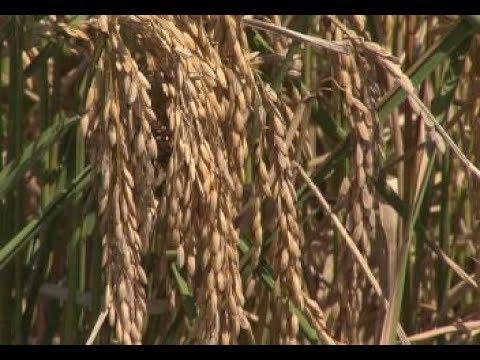 Rice harvest having mixed results in Louisiana