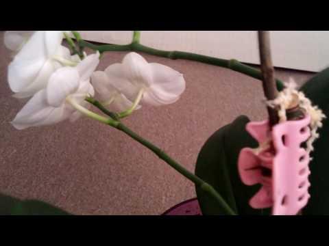 Orkide hakkında bilinmesi gereken püf noktalar ve orkide bakımı.
