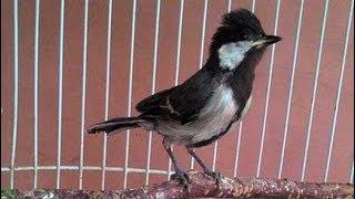 Burung Gelatik Tes Vocal Salam Wucit Wucit