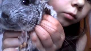 домашняя животное шиншилла