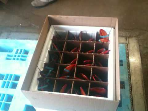 Live Lobster Packing For Shipping Youtube