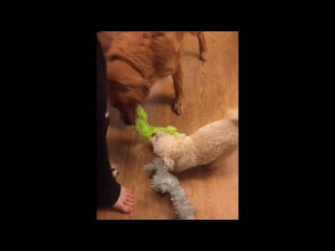 Thumbnail: Our little dog thinks he stands a chance against our Golden Retriever!