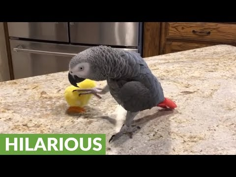 Talking parrot enjoys a very Happy Easter!