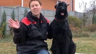 видео Собака Ризеншнауцер (гигантский шнауцер): описание породы, фото, цена щенков, отзывы