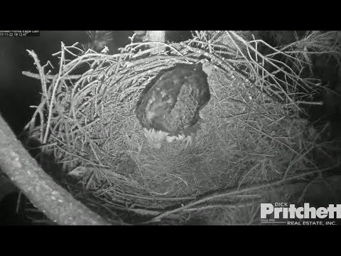 SWFL Eagles ~ HARRIET LAYS EGG #2 Tonight! Congratulations!! 11.22.17