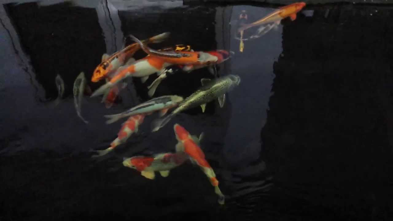 Koi on pond with eco sand filter system youtube for Koi pond sand filter