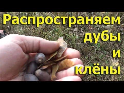 Распространяем дубы и клёны