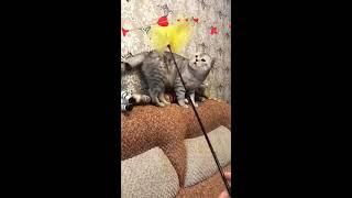 Шотландский кот тестирует Игрушку!