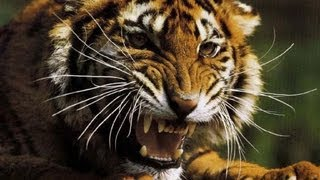 Красив ...опасен...Sibirian Tiger Амурский тигр