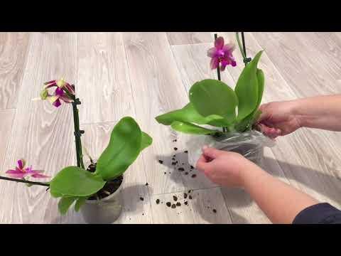 """Ароматная Орхидея Лиодоро ( Phalaenopsis Liodoro """" Sweet Memory """" ). Распаковка Долгожданной Посылки"""