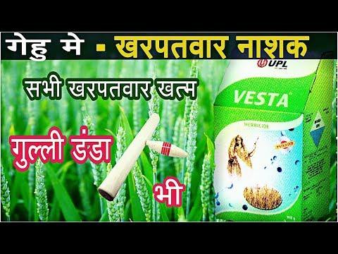 Wheat herbicide | UPL Vesta | gulli danda | गेहु मे गुल्ली डडा
