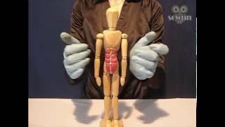 Пластическая анатомия – Мышцы туловища.