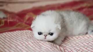 Котята персидские шиншиллы питомника Kelevra