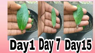 How to grow ZeeZee plant from single leaf with update result || Zamioculcas Zamifolia
