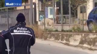 Baixar Escaped BENGAL TIGER causes panic on the streets of Sicily, Italy (escaped from circus)
