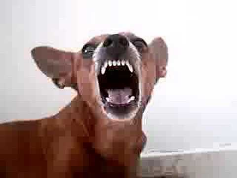 When min pinscher gets angry! - YouTube