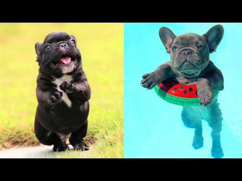 FRENCH BULLDOG PUPPIES | Funny and Cute French Bulldog Puppies Compilation # 6 | Cute pets