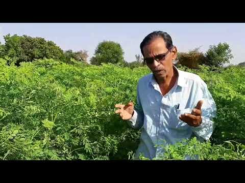 Agriculture Of Moringa As a Cattle Food
