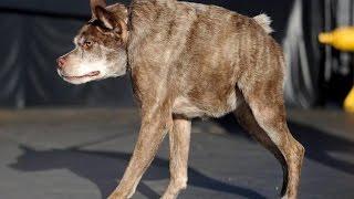 Короткий позвоночник   Dog - short spine syndrome