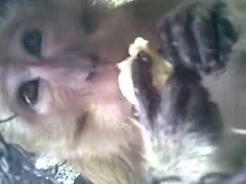Monyet Makan Duren