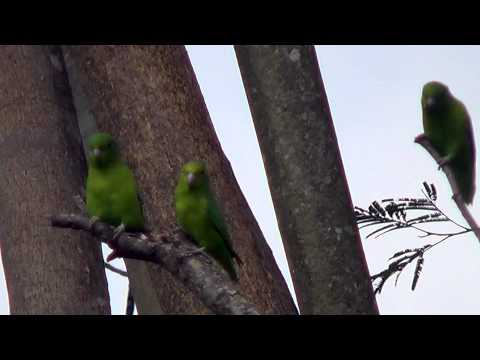 sounds of birds,  Blue-winged Parrotlet, Forpus xanthopterygius,