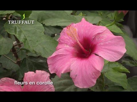 comment entretenir l 39 hibiscus rosa sinensis jardinerie truffaut tv youtube. Black Bedroom Furniture Sets. Home Design Ideas