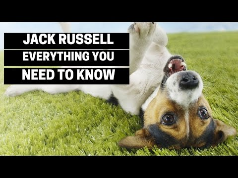 Jack Russell Terrier - Everything You Need To Know About Owning a Jack Russell Puppy