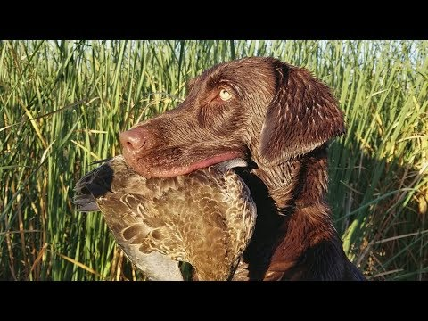 Timber's Debut! First Hunt For Duck Dog! -California Duck Hunting 2017