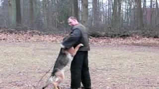 German Shepherd (alsatian) Dutch Police Dogs, Vanzwedenland -2-