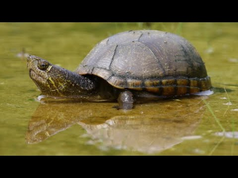 KY Wildlife Eastern Mud Turtle