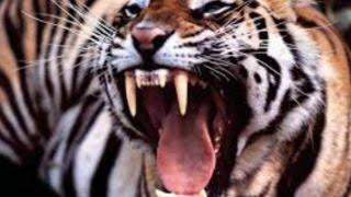 Tiger Attacks at London Zoo! It