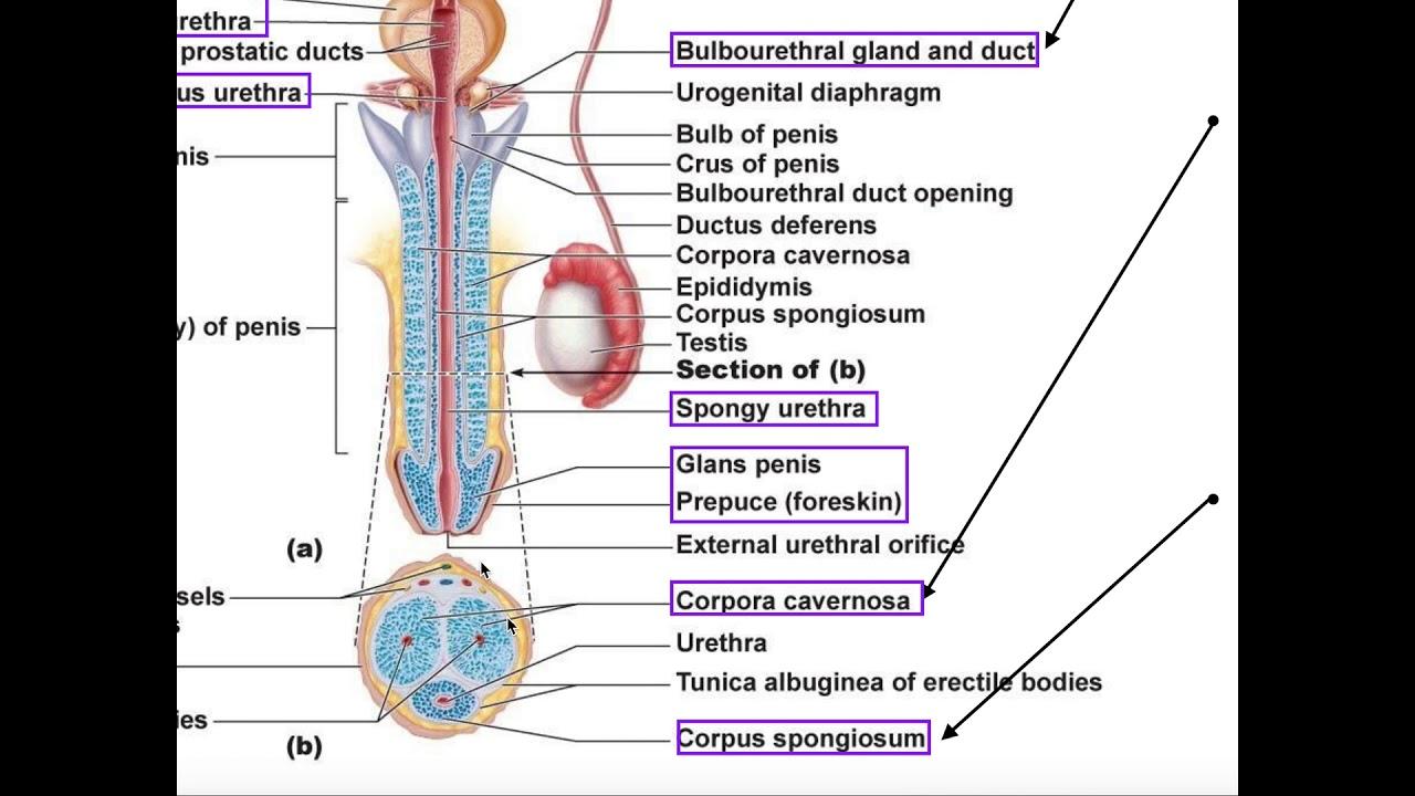 unguent vindecarea penisului care punct este responsabil pentru erecție