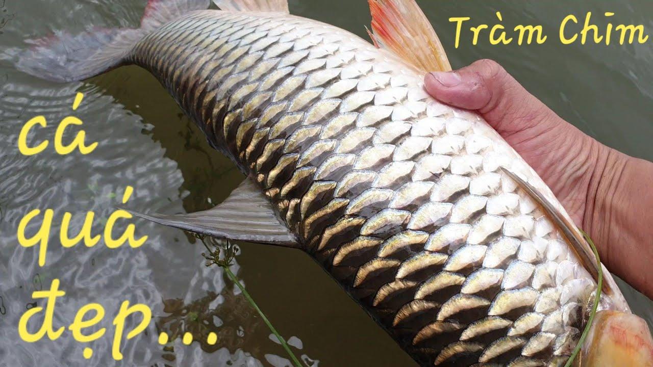 Truy lùng mồi mới săn cá tra Tràm Chim. Mồi đơn giản nhưng khó tìm | Săn bắt SÓC TRĂNG |