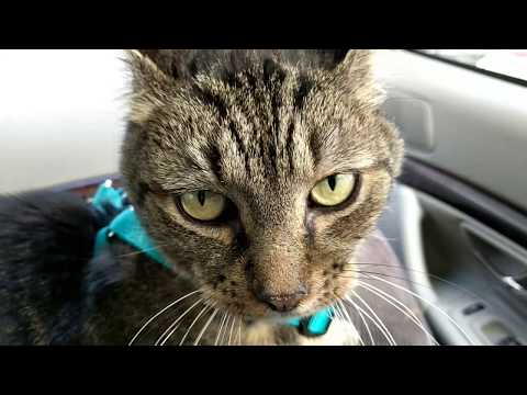 Tabby cat goes for a crazy car ride in Maine
