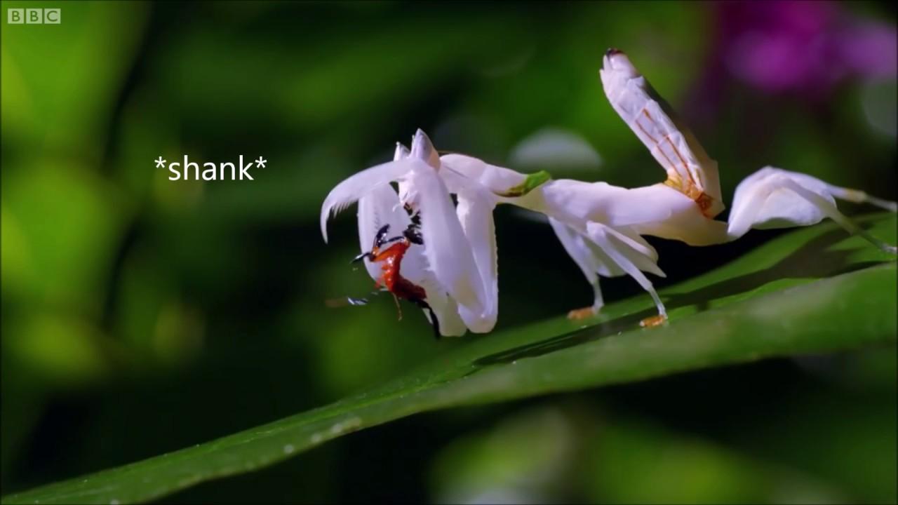 Mantis Roadman BBC Life Story Clip