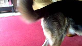Staffordshire Bull Terrier Bullies German Shepherd