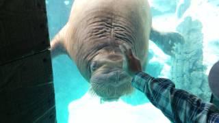 Walrus plays with a slinky!