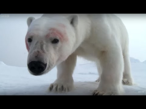 Polar bears play football with spy cam | Polar Bear Spy On The Ice | BBC Earth
